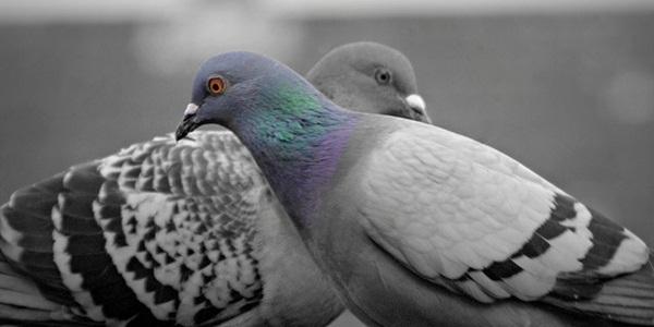 Beautiful Pigeon Photos  (12)