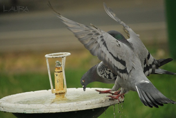 Beautiful Pigeon Photos  (14)