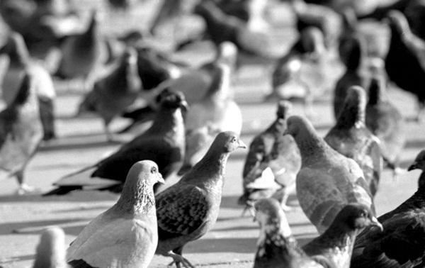 Beautiful Pigeon Photos  (16)