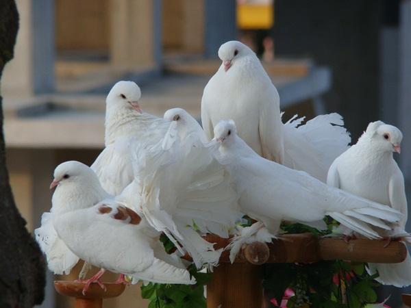 Beautiful Pigeon Photos  (18)
