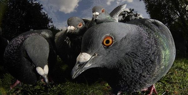 Beautiful Pigeon Photos  (22)