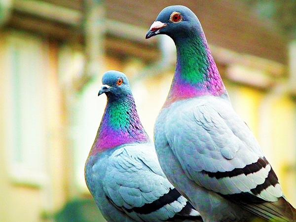 Beautiful Pigeon Photos  (24)