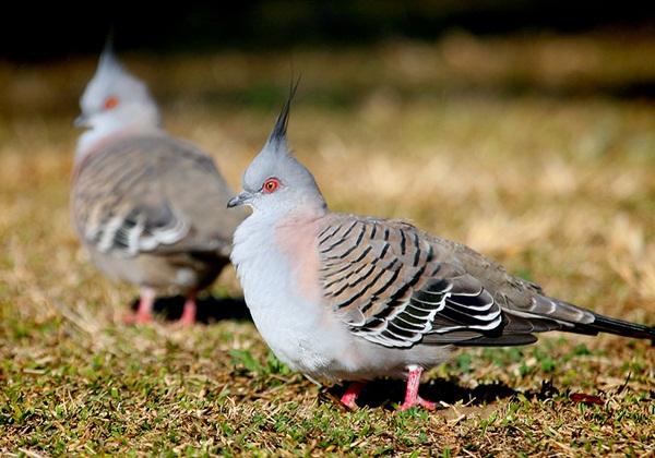 Beautiful Pigeon Photos  (25)