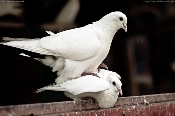 Beautiful Pigeon Photos  (28)