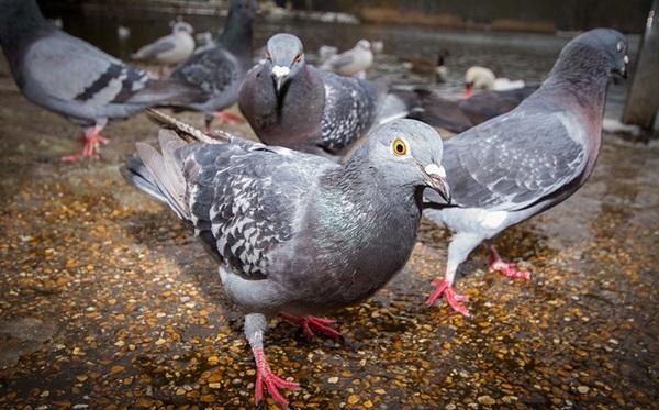 Beautiful Pigeon Photos  (29)