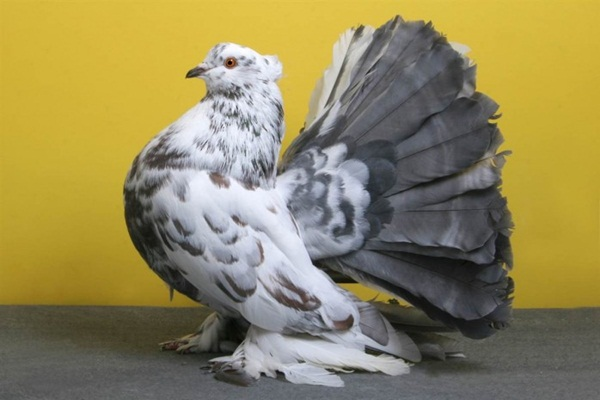 Beautiful Pigeon Photos  (3)