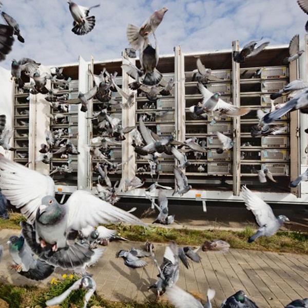 Beautiful Pigeon Photos  (30)