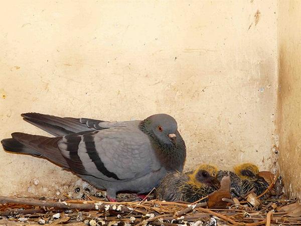 Beautiful Pigeon Photos  (33)