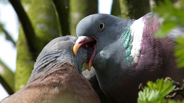 Beautiful Pigeon Photos  (37)