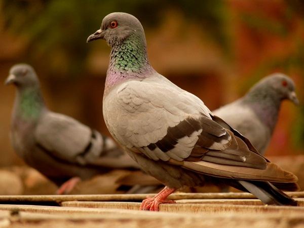 Beautiful Pigeon Photos  (38)
