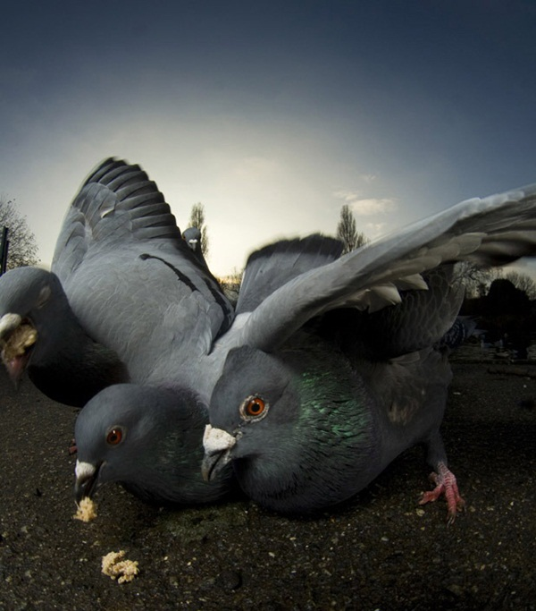 Beautiful Pigeon Photos  (7)