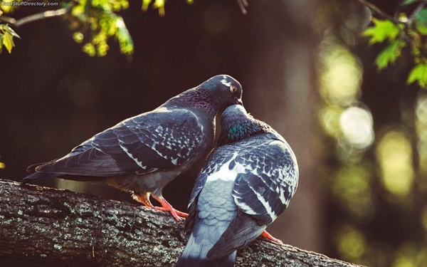 Beautiful Pigeon Photos  (9)