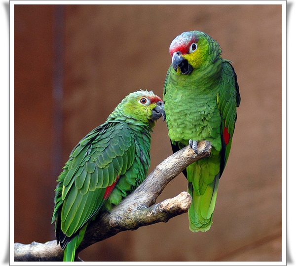 Pictures of Parrots (15)
