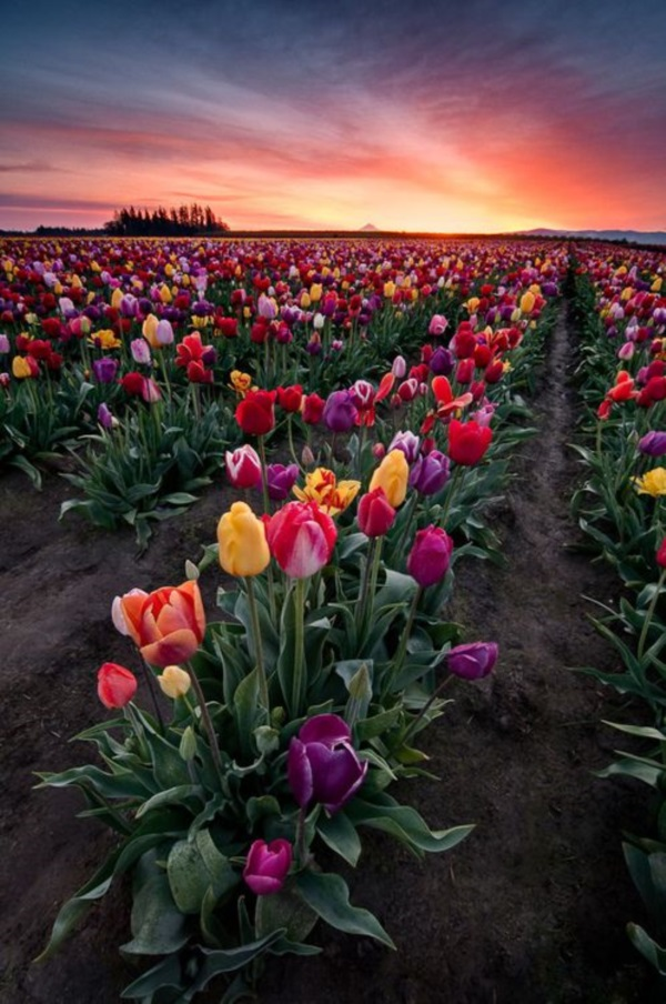 Fascinating Tulip field Pictures Never to be Missed (1)