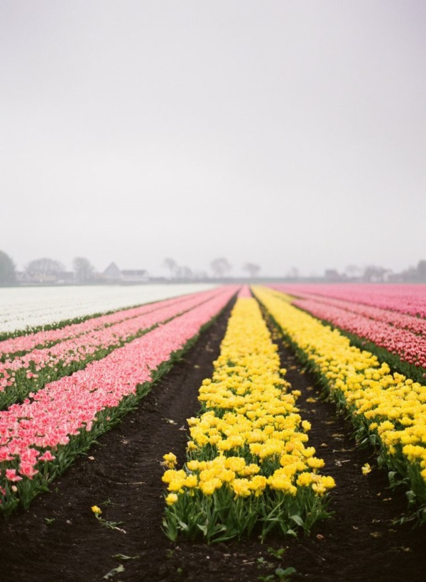 Fascinating Tulip field Pictures Never to be Missed (11)