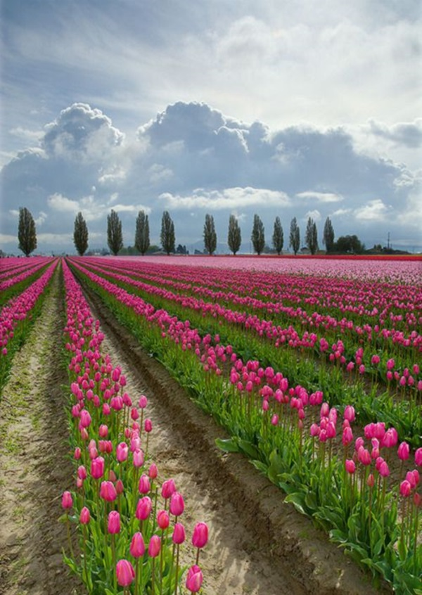 Fascinating Tulip field Pictures Never to be Missed (17)
