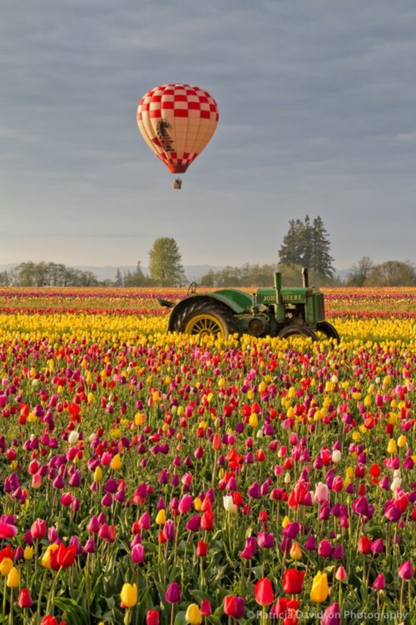 Fascinating Tulip field Pictures Never to be Missed (18)