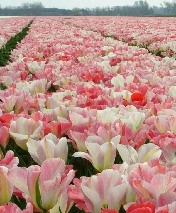 Fascinating Tulip field Pictures Never to be Missed (2)