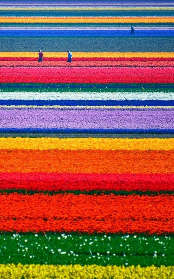 Fascinating Tulip field Pictures Never to be Missed (21)