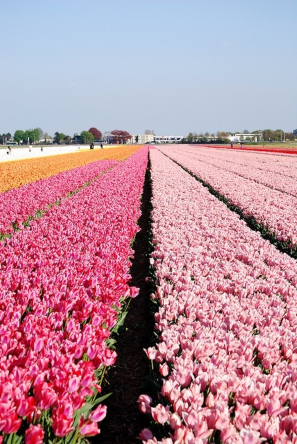 Fascinating Tulip field Pictures Never to be Missed (22)