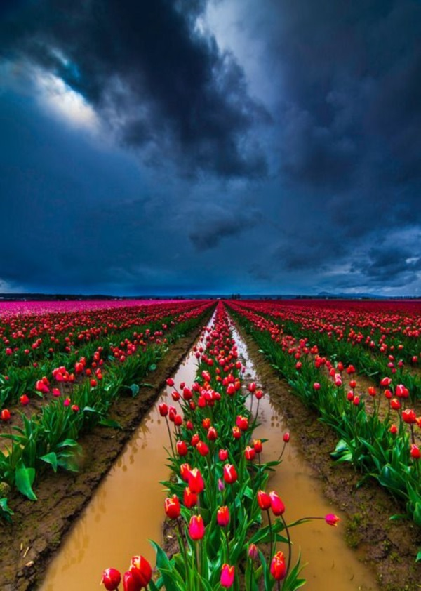 Fascinating Tulip field Pictures Never to be Missed (23)