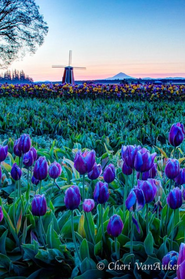 Fascinating Tulip field Pictures Never to be Missed (24)