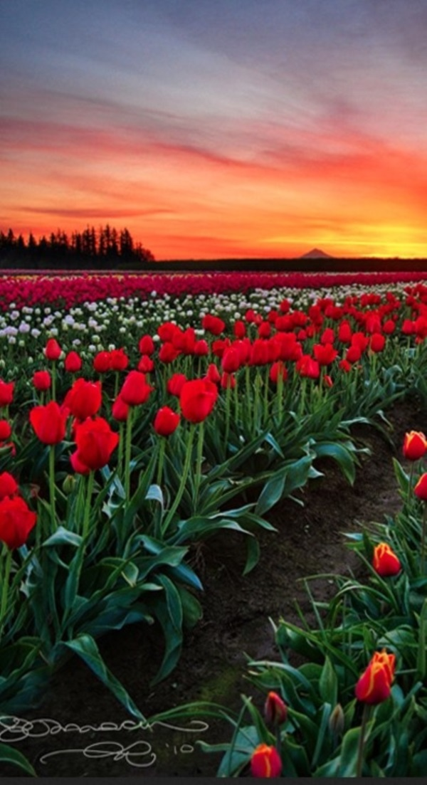 Fascinating Tulip field Pictures Never to be Missed (25)