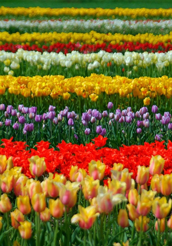 Fascinating Tulip field Pictures Never to be Missed (26)
