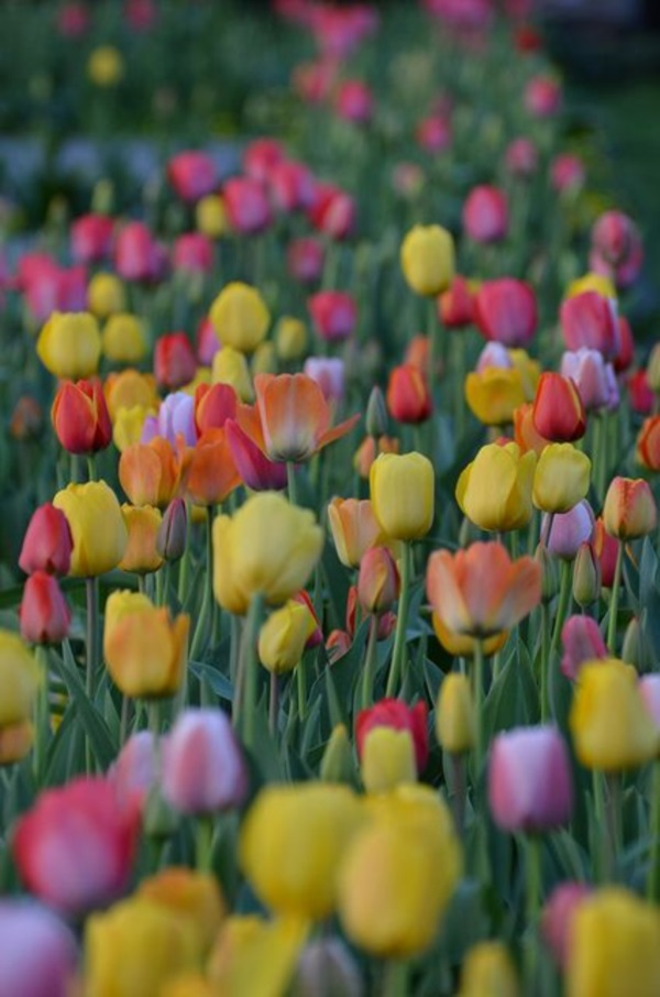 Fascinating Tulip field Pictures Never to be Missed (28)