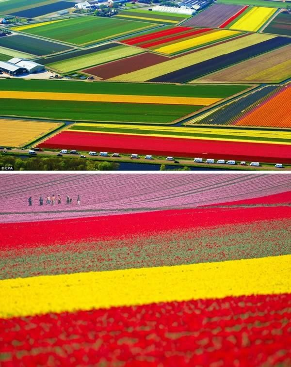 Fascinating Tulip field Pictures Never to be Missed (3)