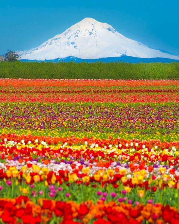 Fascinating Tulip field Pictures Never to be Missed (30)