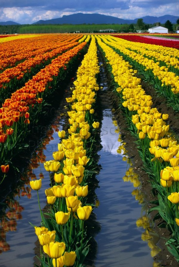 Fascinating Tulip field Pictures Never to be Missed (31)