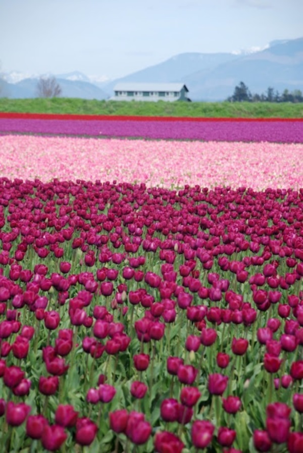 Fascinating Tulip field Pictures Never to be Missed (32)
