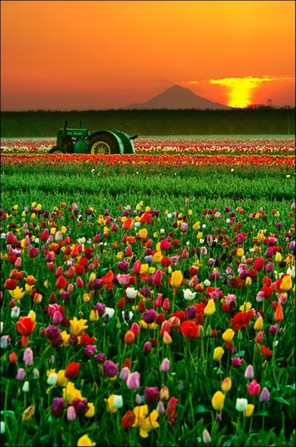 Fascinating Tulip field Pictures Never to be Missed (33)