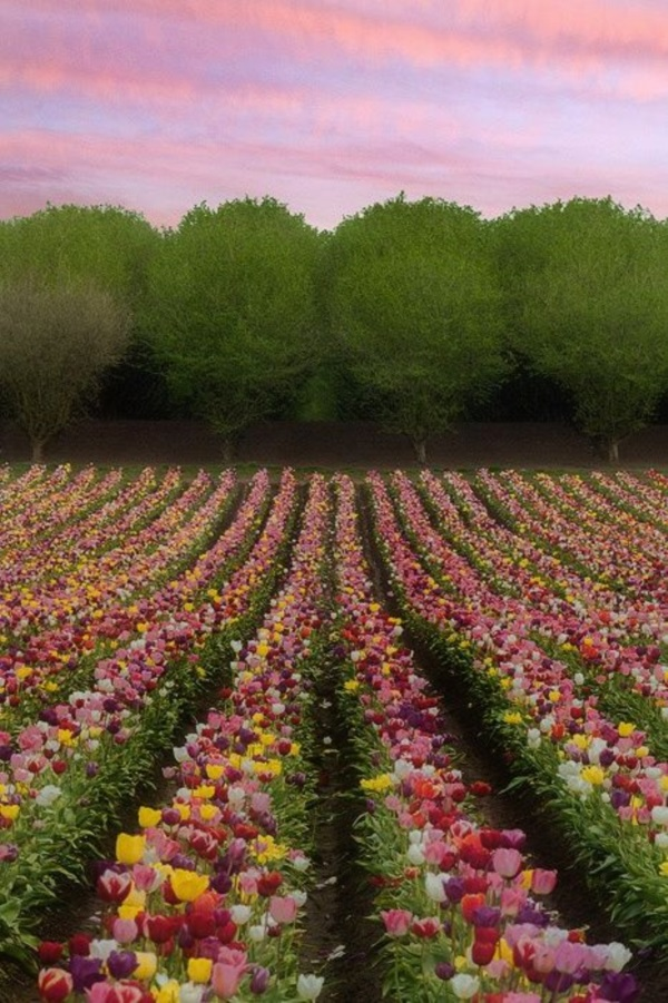 Fascinating Tulip field Pictures Never to be Missed (34)