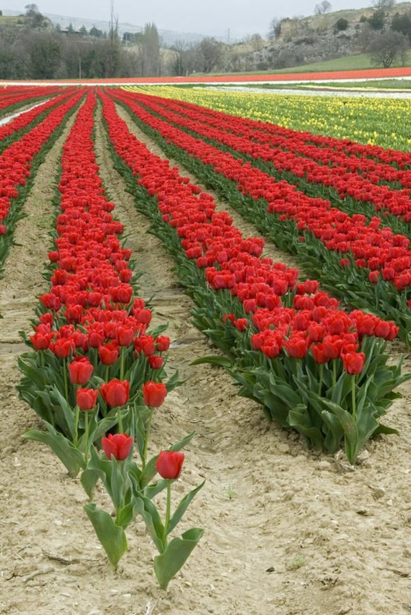 Fascinating Tulip field Pictures Never to be Missed (37)