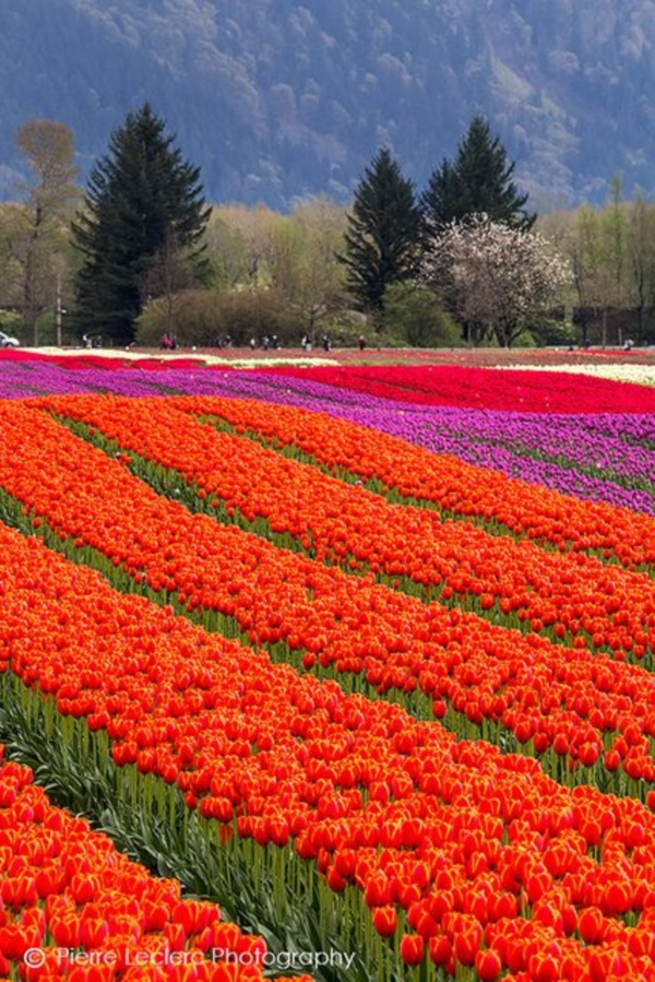 Fascinating Tulip field Pictures Never to be Missed (38)