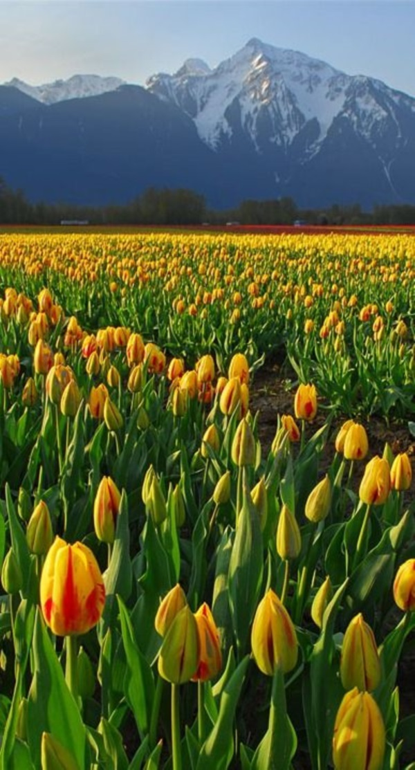 Fascinating Tulip field Pictures Never to be Missed (4)