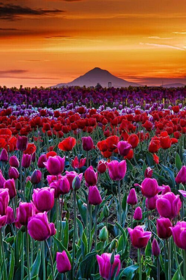 Fascinating Tulip field Pictures Never to be Missed (40)