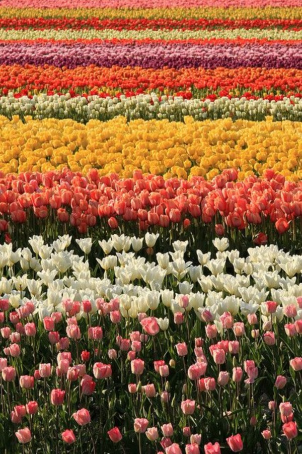Fascinating Tulip field Pictures Never to be Missed (41)