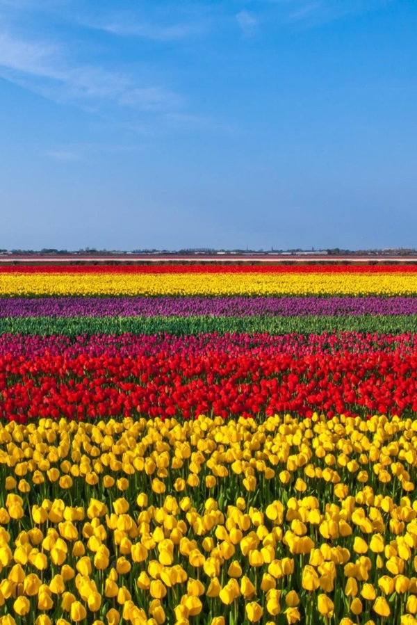 Fascinating Tulip field Pictures Never to be Missed (44)