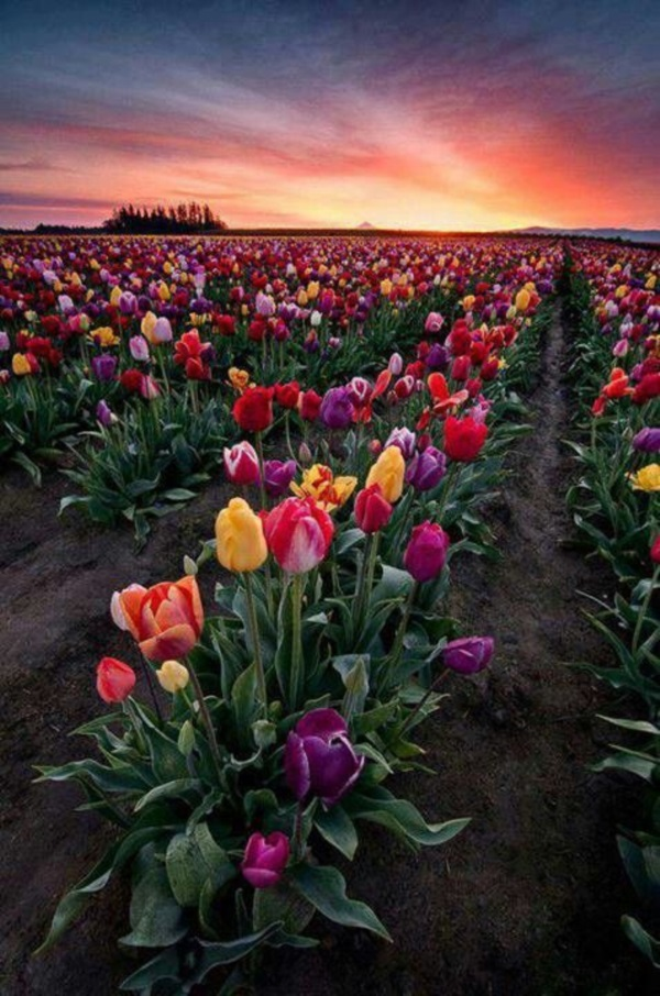 Fascinating Tulip field Pictures Never to be Missed (45)