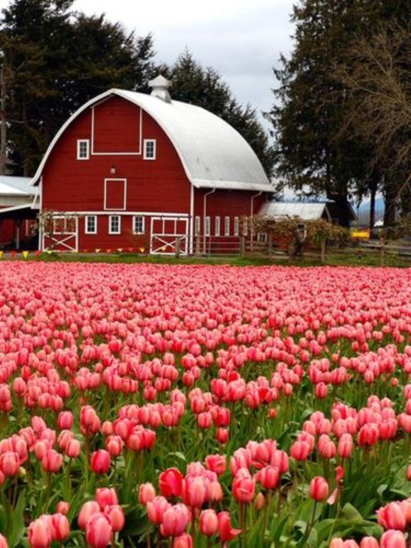Fascinating Tulip field Pictures Never to be Missed (5)