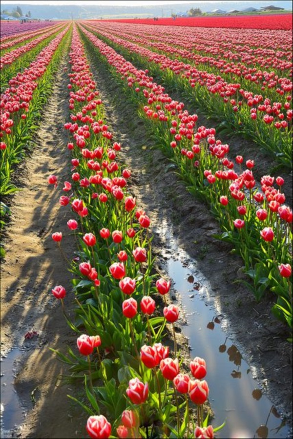 Fascinating Tulip field Pictures Never to be Missed (6)