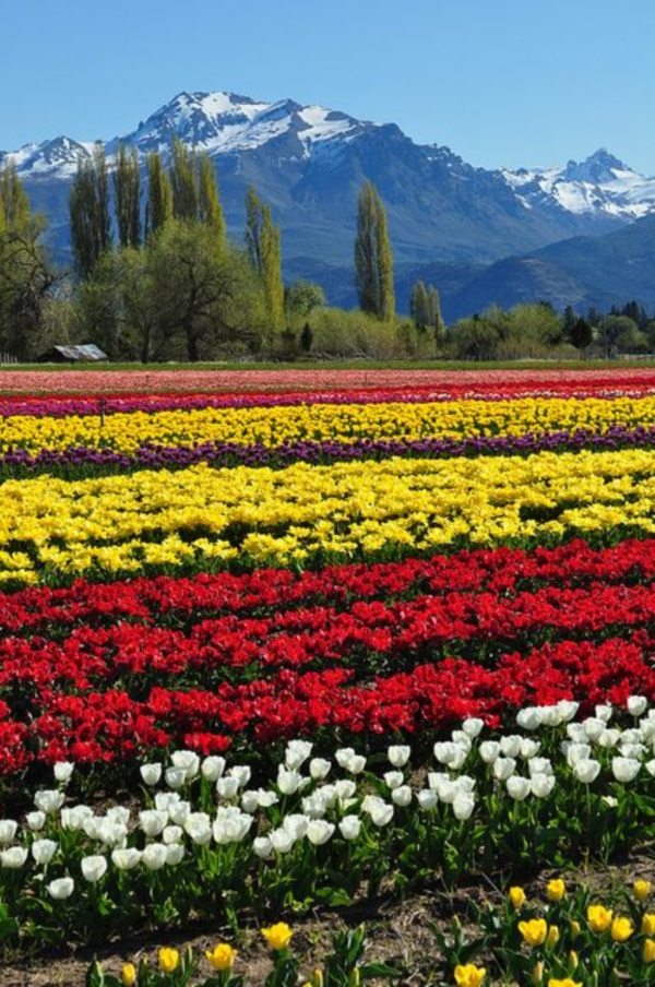 Fascinating Tulip field Pictures Never to be Missed (7)