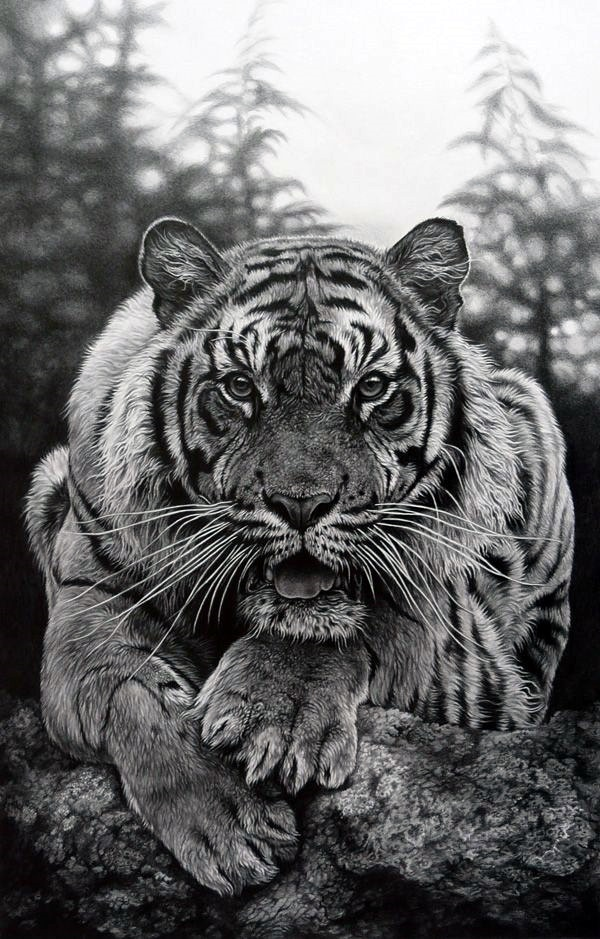 pencil realistic animal drawings animals drawing wildlife tiger rhodes julie draw amazing artist portraits tigers prints crouching newa marwell boredart