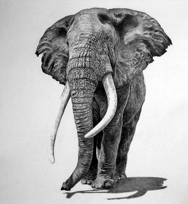 Realistic animal pencil drawings 4