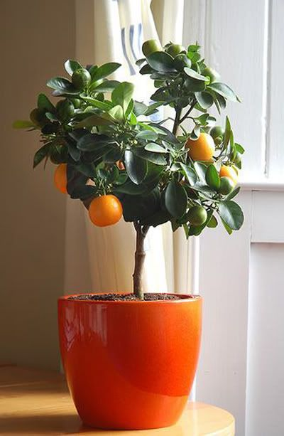 Цитрусовые домашние растения и уход за ними в домашних условиях