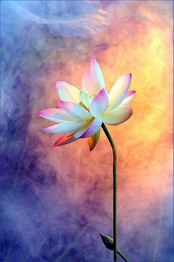 Peaceful Lotus Flower Painting Ideas (21)